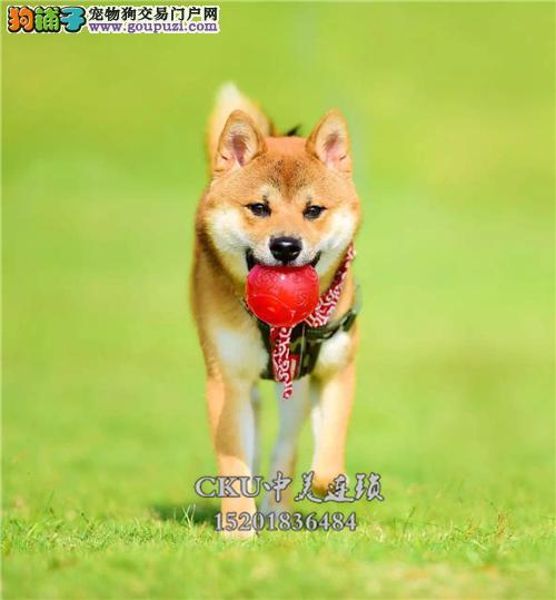 新疆专业繁殖柴犬顶级高品相微笑全国发货