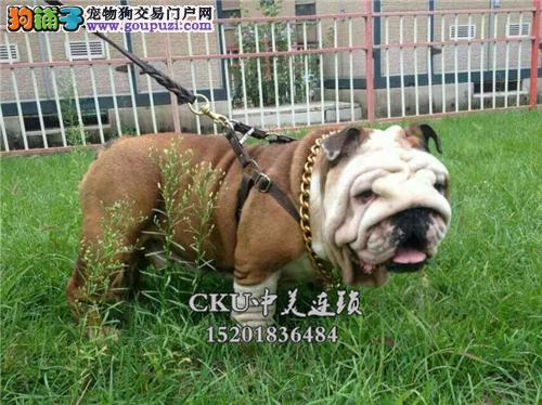 新疆最大犬舍英牛赛级高品质全国发货