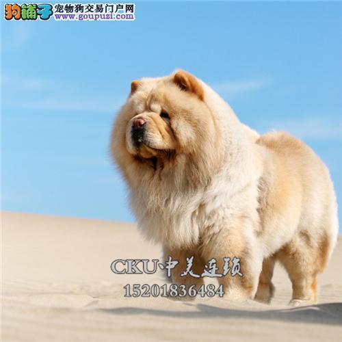 新疆松狮乖巧高品相肉嘟嘟全国发货