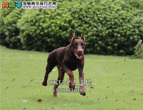 新疆犬舍杜宾高品质骨量足小全国发货