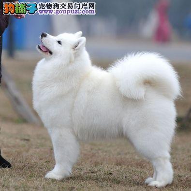 中国登陆冠军路虎的双血统萨摩耶宝宝接受预定