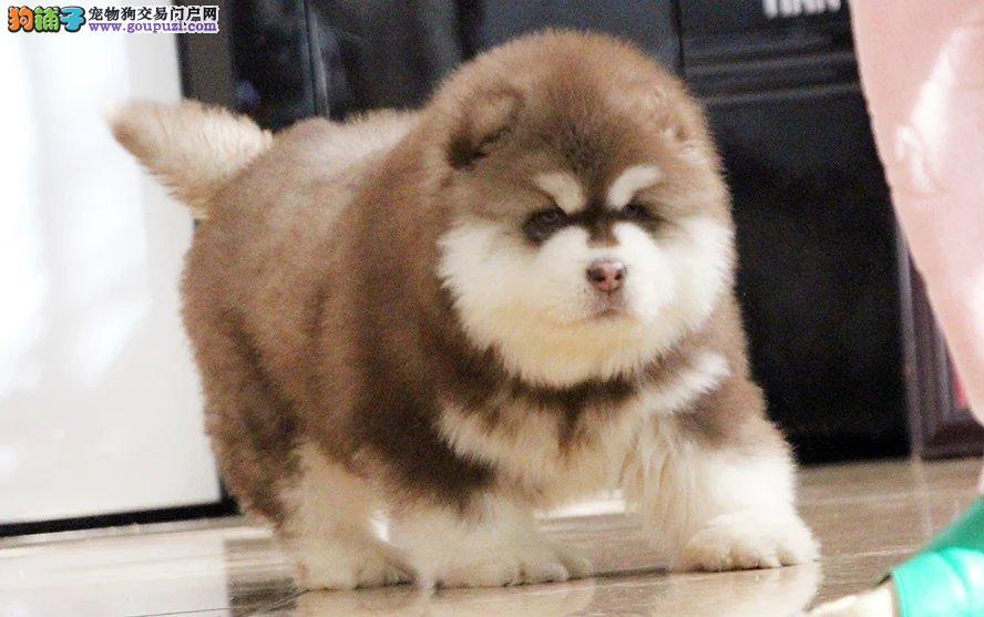纯种熊版阿拉斯加犬,常年繁育精品阿拉斯加幼犬