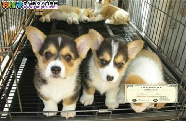 纯种柯基犬幼犬保证健康 自取1000
