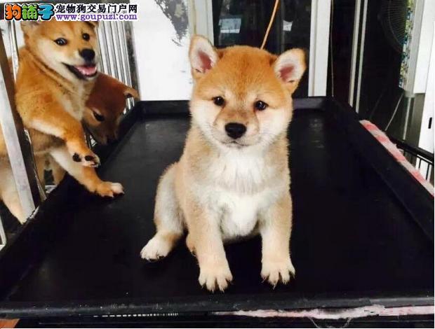 柴犬重庆CKU认证犬舍自繁自销赠送全套宠物用品