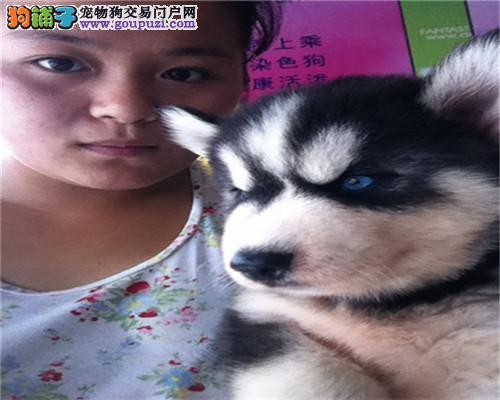 重庆家养漂亮哈奇士 有疫苗的证,自取1000