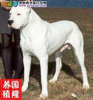 小的杜高犬多少钱一条
