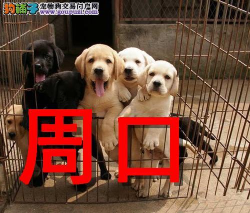 周口最大狗场拉布拉多犬销售,本地狗场几十个品种
