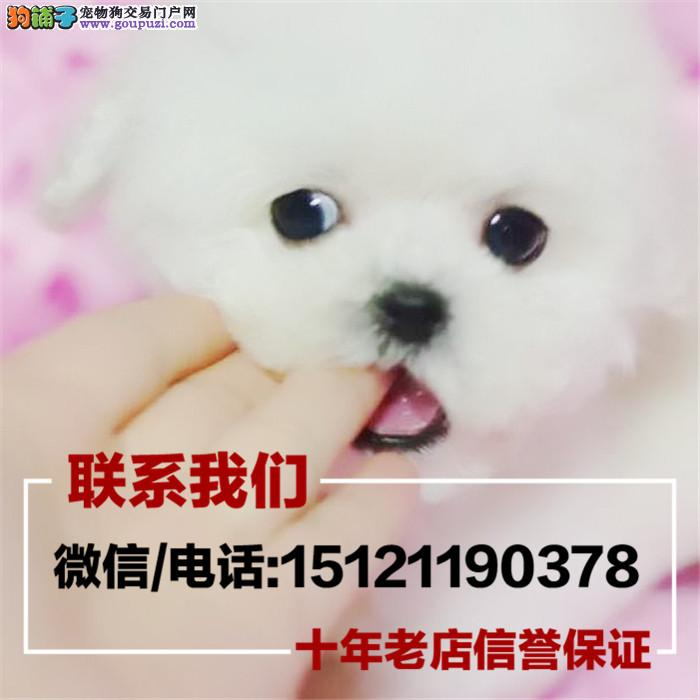 专业繁殖出售贵宾犬 成年之后4斤左右包健康疫苗做好