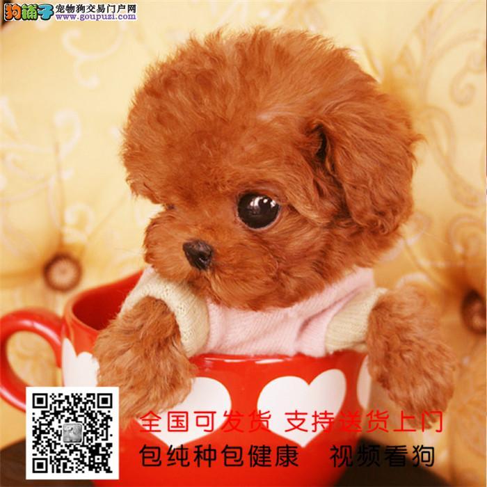 茶杯犬 超小体博美 会上厕所已驯养 包纯种健康签协议