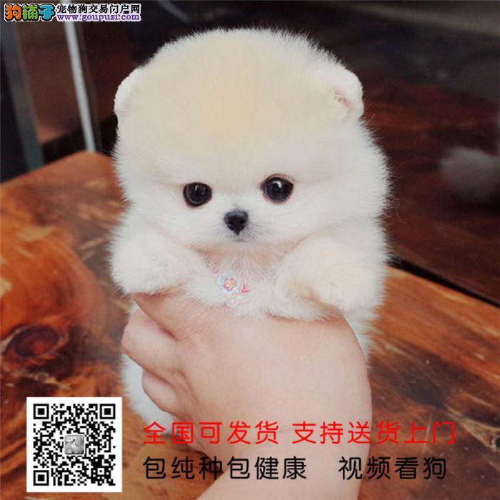 广州出售纯种活泼可爱哈多利版最小球体博美 包健康