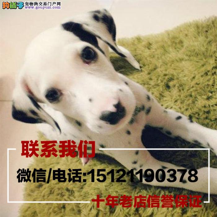 家养繁殖纯种斑点狗,三个月疫苗驱虫齐全,带证书包健康