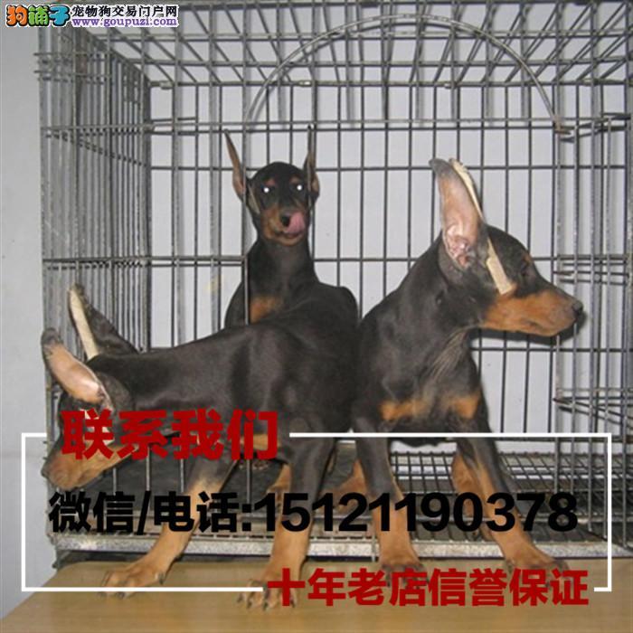 家养繁殖马犬 杜宾幼犬 会猎兔已驯养 看家护院 带证书
