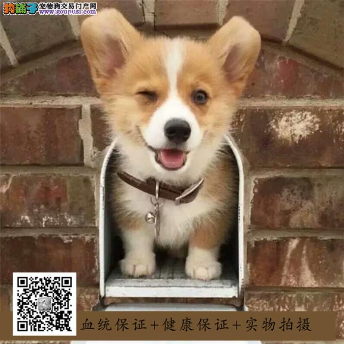 正规犬舍繁殖纯种短腿小电臀柯基犬,双三色均有包养活