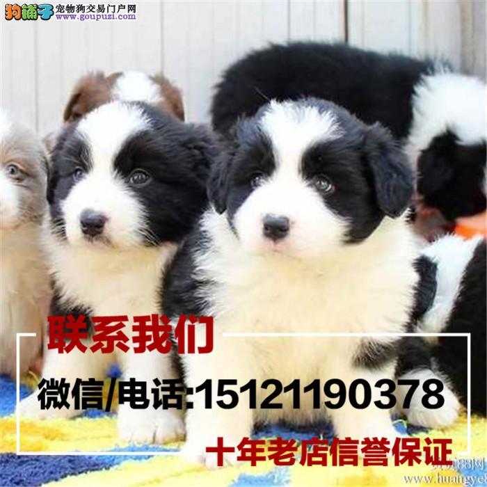 家养繁殖出售伯恩山 边牧幼犬 疫苗齐全带血统