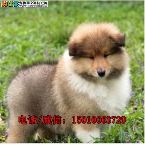 纯种苏格兰牧羊犬 幼犬出售  种公外配 成年犬出售