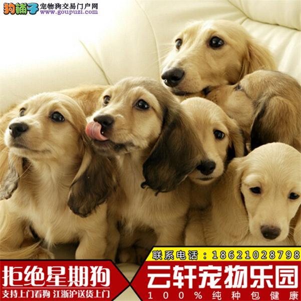 CKU犬业专业繁殖纯种俄系腊肠公母全三针齐