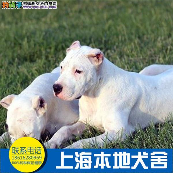 纯种杜高 杜高犬保证纯种健康 终身质保饲养指导
