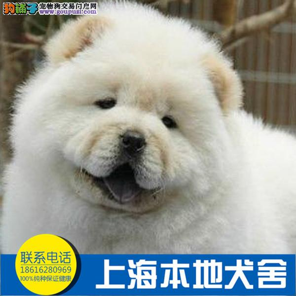 专业繁殖憨厚可爱的松狮宝宝 专业品质 信誉保障