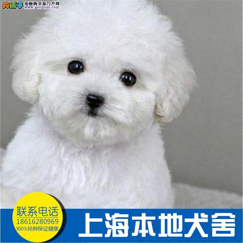 专业繁殖玩具泰迪熊 纯种血统 完美体型可爱之至