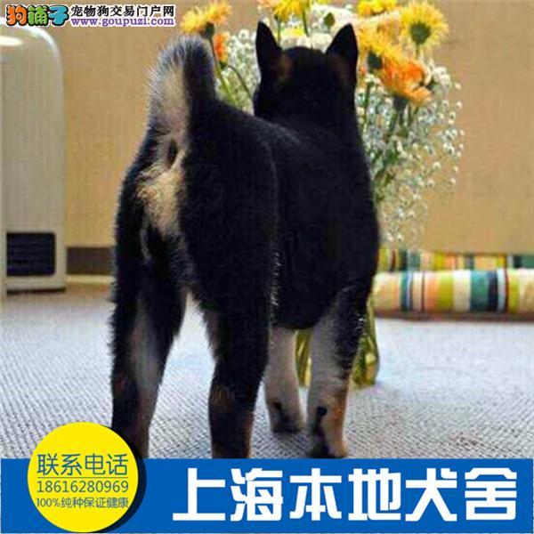 日本宠物狗 日系柴犬纯种幼犬出售 高品质健康