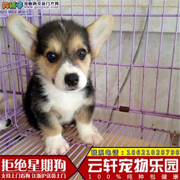 精品柯基幼犬 CKU认证犬场可签订活体协议纯种