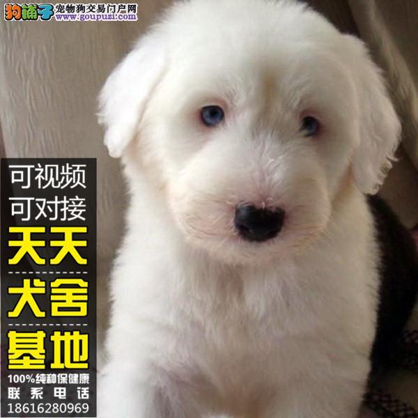 纯种白头通背古代羊犬幼犬 小古代牧羊犬幼犬