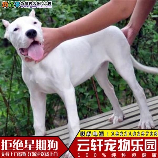 纯种杜高杜高犬保证纯种健康 终身质保饲养指导