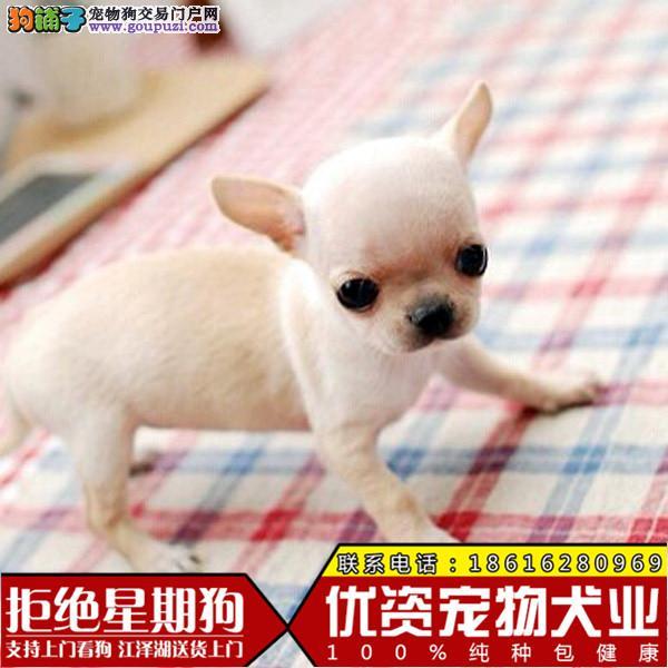 纯种家养超小体宠物狗 袖珍吉娃娃犬幼犬 茶杯狗长