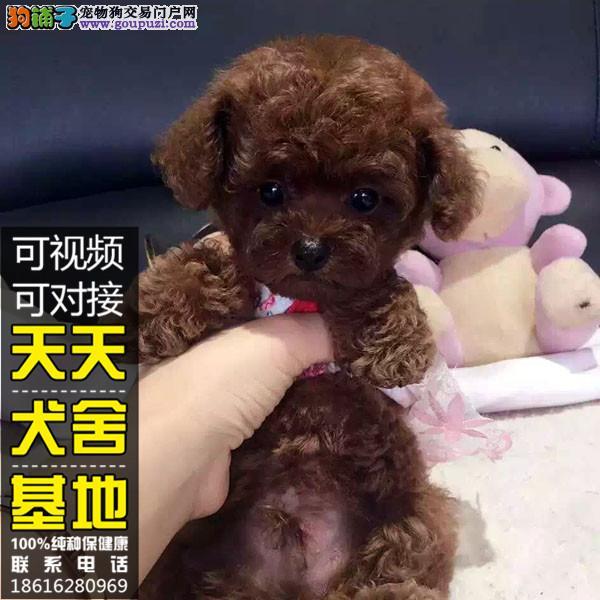 自家养的泰迪犬 颜色齐全 全国发货 质量保