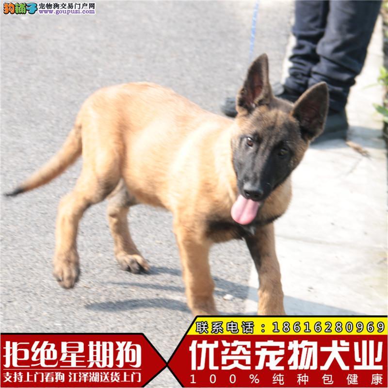 中国的马犬繁殖基地出售纯种马犬 保纯保健康