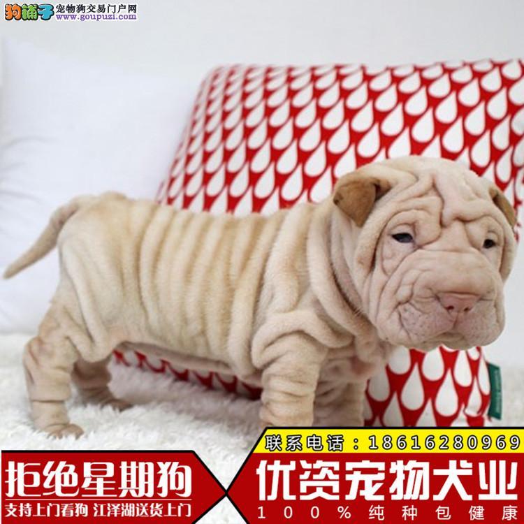买沙皮犬 满身褶皱 高品质赛级公母都有的哦