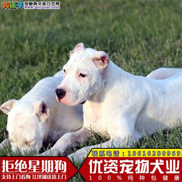 高品质阿根廷杜高猎犬一窝公母都有欢迎选购健康保证签