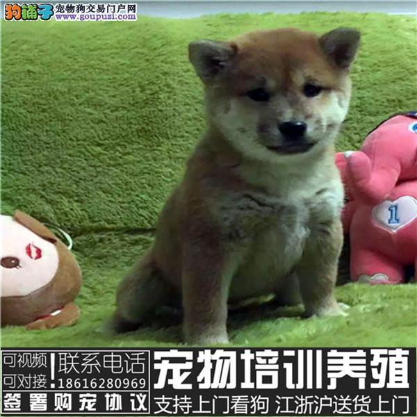 日系血统柴犬 种犬全部国外引进 幼犬多只可挑选