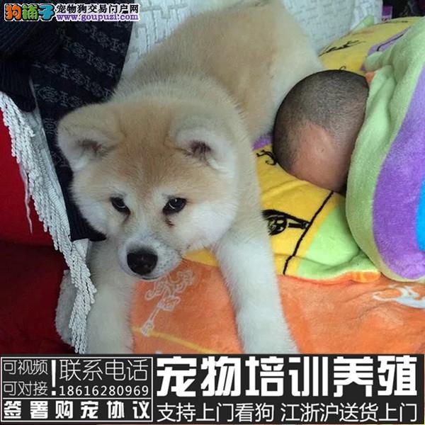 聪明忠诚的秋田宝宝 公母均有 纯种血统 热销中