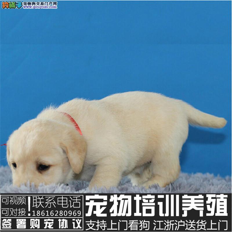 温顺的狗狗 幼犬拉布拉多 犬舍纯种拉布拉多