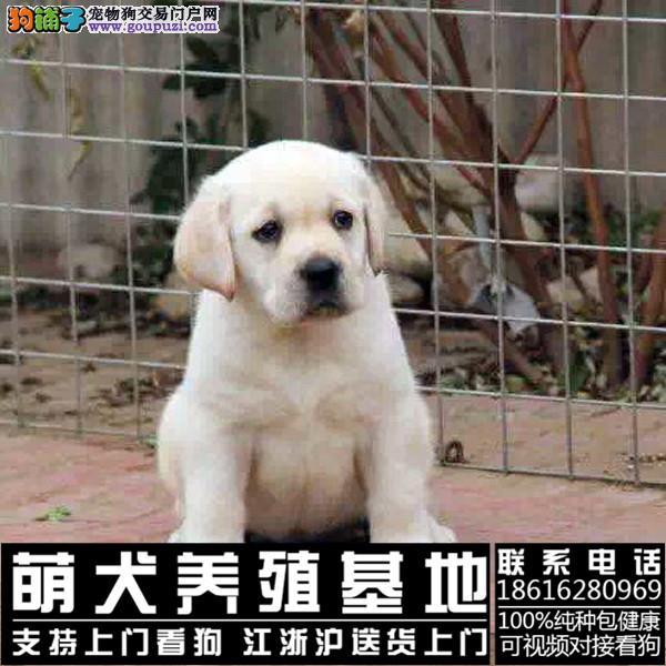 拥有无辜眼神的拉布拉多本犬舍正在直销中