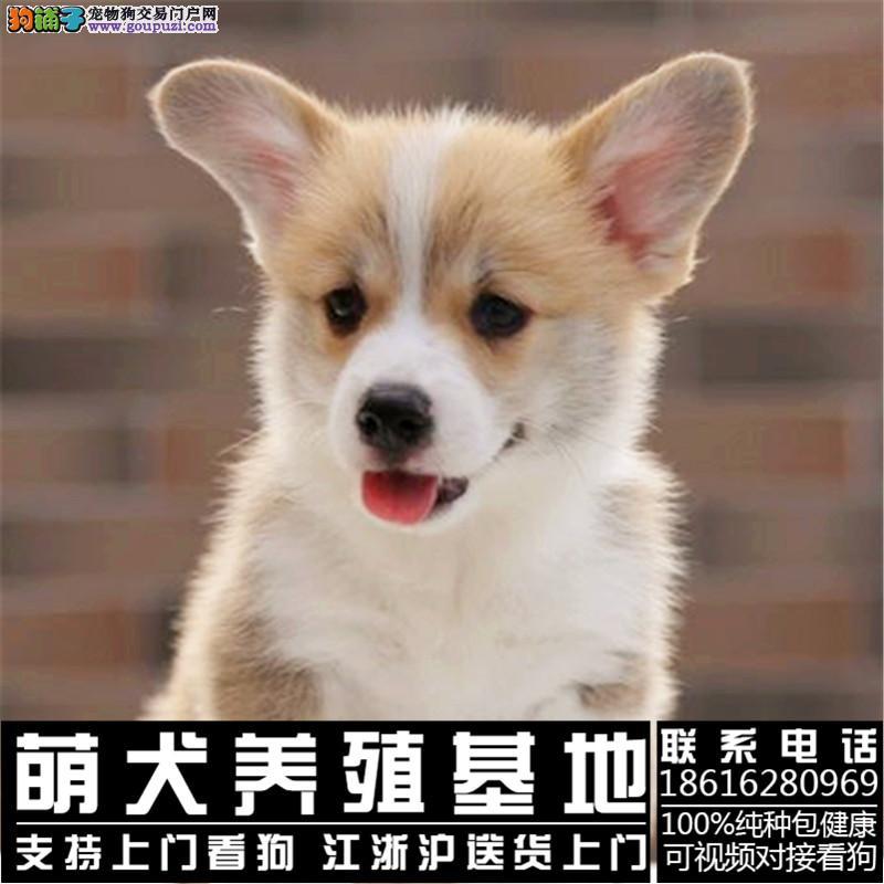 犬舍出售聪明可爱柯基宝宝 颜色齐全 包健康