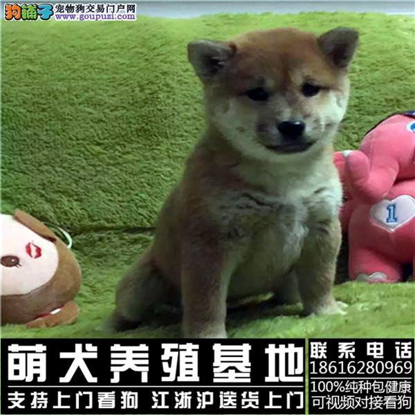 正规狗场 日本柴犬基地 三个月包退换 送货上门