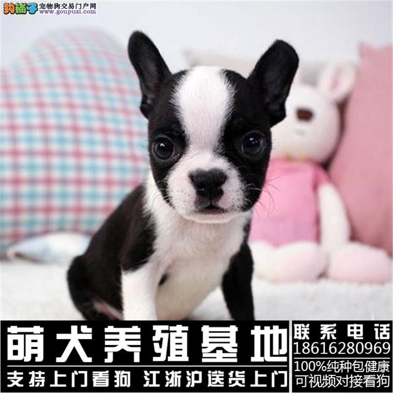 纯种法国斗牛犬 CKU认证犬舍直销赛级包健康