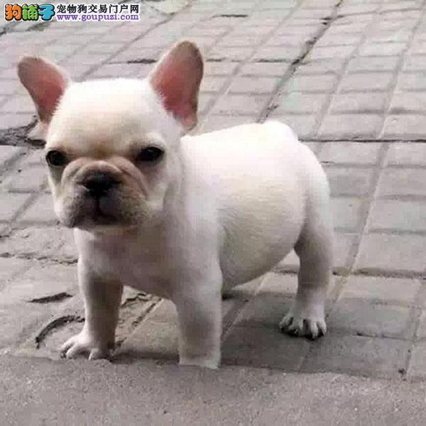 纯种的奶油斗牛犬低价出售法国斗牛犬幼犬 包健康