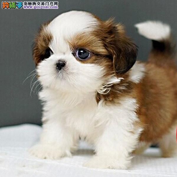 极品小体西施犬幼犬 尊贵犬种,高端伴侣犬玩赏犬