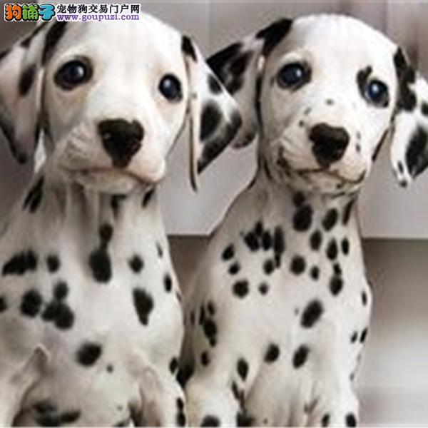 高端大气斑点狗幼犬 纯种繁殖 大麦町犬气质不凡