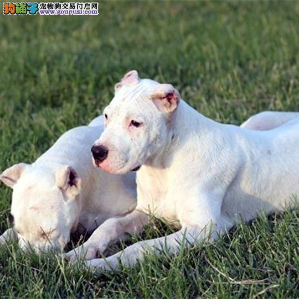 打猎一把手杜高幼犬 凶猛猎犬 保纯保健康带证带芯片