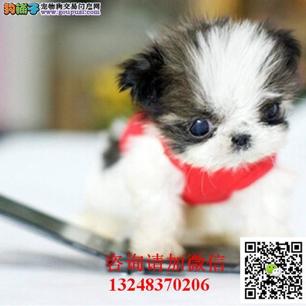 宠物狗狗纯种幼犬西施犬出售疫苗齐全健康保高端伴侣犬