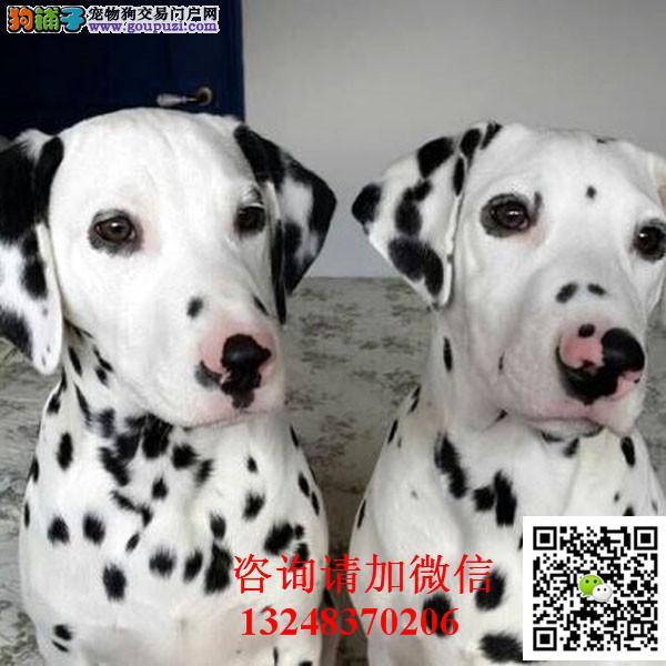 纯种可爱斑点幼犬纯种繁殖高端大气精品斑点犬