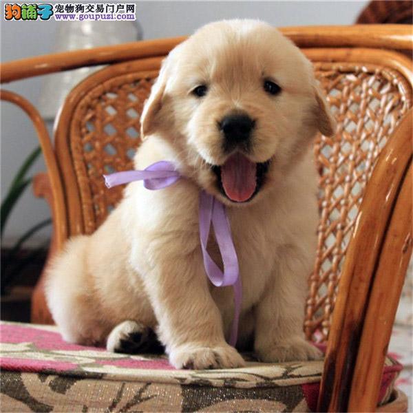 出售金毛导盲犬忠诚可爱温顺热情的伴侣犬金毛宝宝幼犬