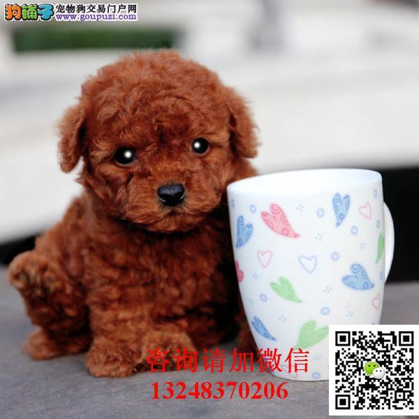 专业繁殖泰迪幼犬玩具泰迪憨态可掬娇小可爱萌萌哒