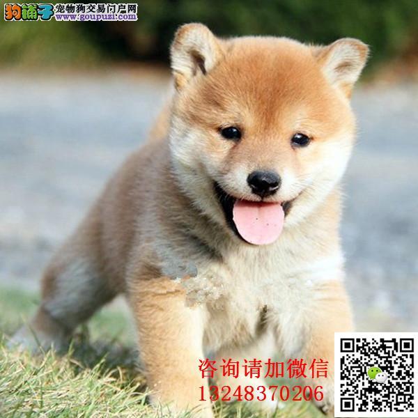 忠诚可靠的漂亮柴犬个性机 独立身体强健的幼柴犬