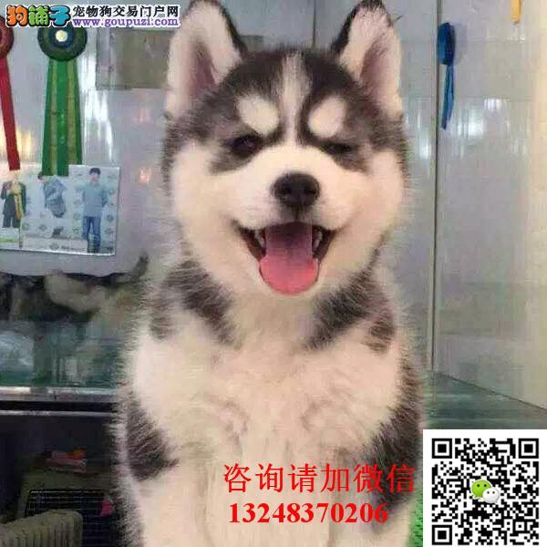 专业犬舍出售哈士奇三把火双蓝眼哈士奇幼犬纯种健康