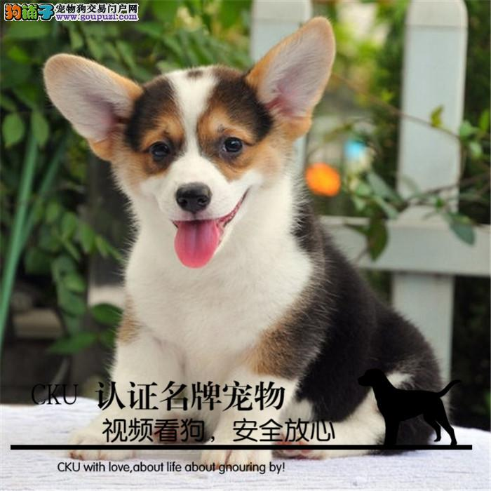 纯种威尔士柯基犬 超萌小短腿 健康质保 可送货到家